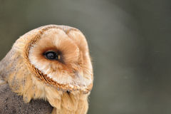 Barn owl face looking right. Barn owl with face detail looking right on green background royalty free stock photos