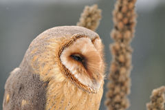Barn owl face looking right with goldenrod. On background royalty free stock images