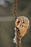 Barn owl face sitting on goldenrod. In winter when its windy Royalty Free Stock Images