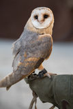 The barn owl Royalty Free Stock Image