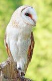 Barn Owl. A female Barn Owl perched on a stump Stock Photos