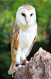 Barn Owl. A female Barn Owl perched on a stump Stock Image