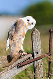 Barn owl on a fence Royalty Free Stock Photos