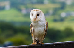Barn Owl on a fence Royalty Free Stock Photography