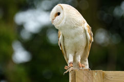 Barn owl on fence post Royalty Free Stock Photography