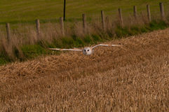 Barn Owl in flight Stock Images