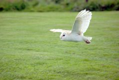 Barn Owl in Flight. Female Barn Owl Flying across field stock photo
