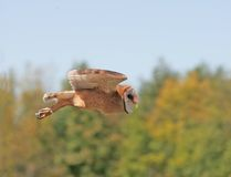 Barn owl in flight. Taken at a african theme park Royalty Free Stock Images