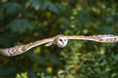 Barn Owl in flight Stock Photography