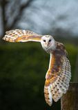 Barn Owl In Flight Royalty Free Stock Photography