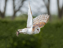 Barn Owl In Flight Royalty Free Stock Photos