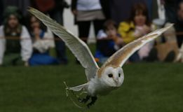 Barn Owl in Flight. English Barn Owl being flown at a falconry display Royalty Free Stock Photo