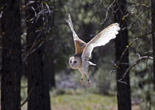 Barn Owl In Flight in Forest Royalty Free Stock Photos