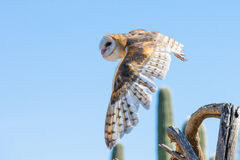 Barn owl in flight after prey Stock Photo