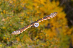 Barn owl in flight Royalty Free Stock Images