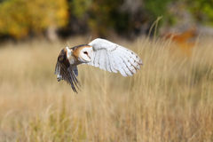 Barn owl in flight Stock Image