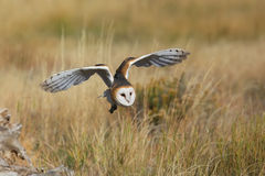 Barn owl in flight Royalty Free Stock Image