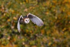 Barn owl in flight Stock Photos