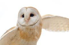 Barn Owl in flight Royalty Free Stock Photos