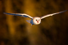 A barn owl flying. With a autumn colour background Royalty Free Stock Photo