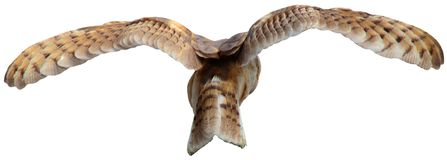 Flying Barn Owl. A barn owl flying away on an isolated background. Also in PNG format Stock Images