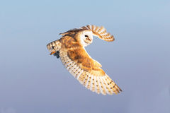 Barn owl flying Royalty Free Stock Photo