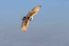Barn owl flying Stock Image