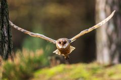 Barn owl flying into forest stock photo