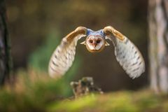 Barn owl flying into forest. Between tree at autumn Royalty Free Stock Photo
