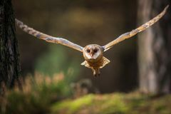 Barn owl flying into forest royalty free stock photography