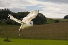 Barn Owl Tyto alba in flight. A Barn Owl flying in the open countryside at a falconry center Royalty Free Stock Photography