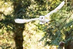 A barn owl flying among the trees. Stock Photography