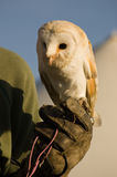 Barn Owl on Gauntlet Stock Photography