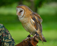Barn Owl on Gloved Hand Royalty Free Stock Image