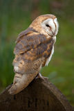 Barn Owl on Gravestone Stock Images