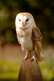 Barn Owl on Gravestone Stock Photos