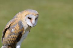 Barn owl. Stock Images