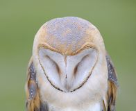 Barn owl. Royalty Free Stock Images