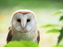 Barn owl between the green leafs, eyes open royalty free stock image