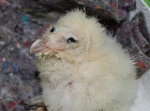 Barn Owl Hatchling Stock Photography