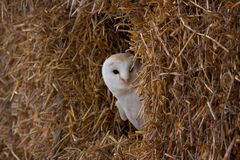 Barn Owl In Hay Stock Image