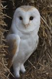 Barn Owl In Hay Royalty Free Stock Image