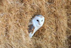 Barn Owl in a hay bale Royalty Free Stock Image