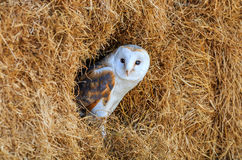 Barn owl in a hay bale Royalty Free Stock Photography