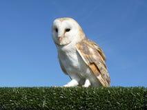 Barn owl on a hedge Stock Photography