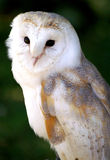Barn Owl - Hedwig. Picture of an owl similar to that of Hedwig in the harry potter stories symbolizing wisdom Stock Photos