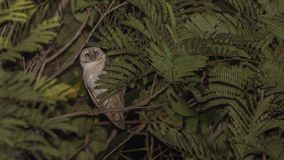 Barn Owl Hiding Among Leaves At Night. Barn owl, Tyto alba, is trying to hide among tree leaves at night in Thananphon Village, Thailand Royalty Free Stock Images