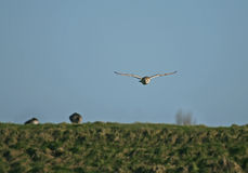 Barn Owl hunting Royalty Free Stock Photo