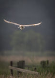 Barn owl hunting early morning over wild meadows with light Stock Photography