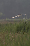 Barn owl hunting early morning over wild meadows and long grass Royalty Free Stock Photos